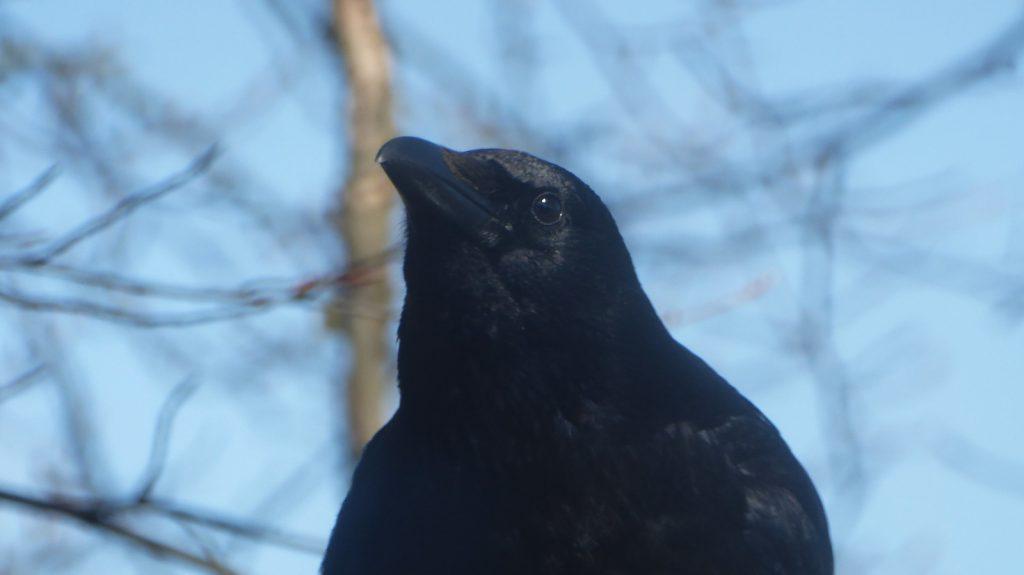 Staring Crow