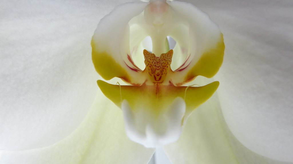 The inside of an Orchid
