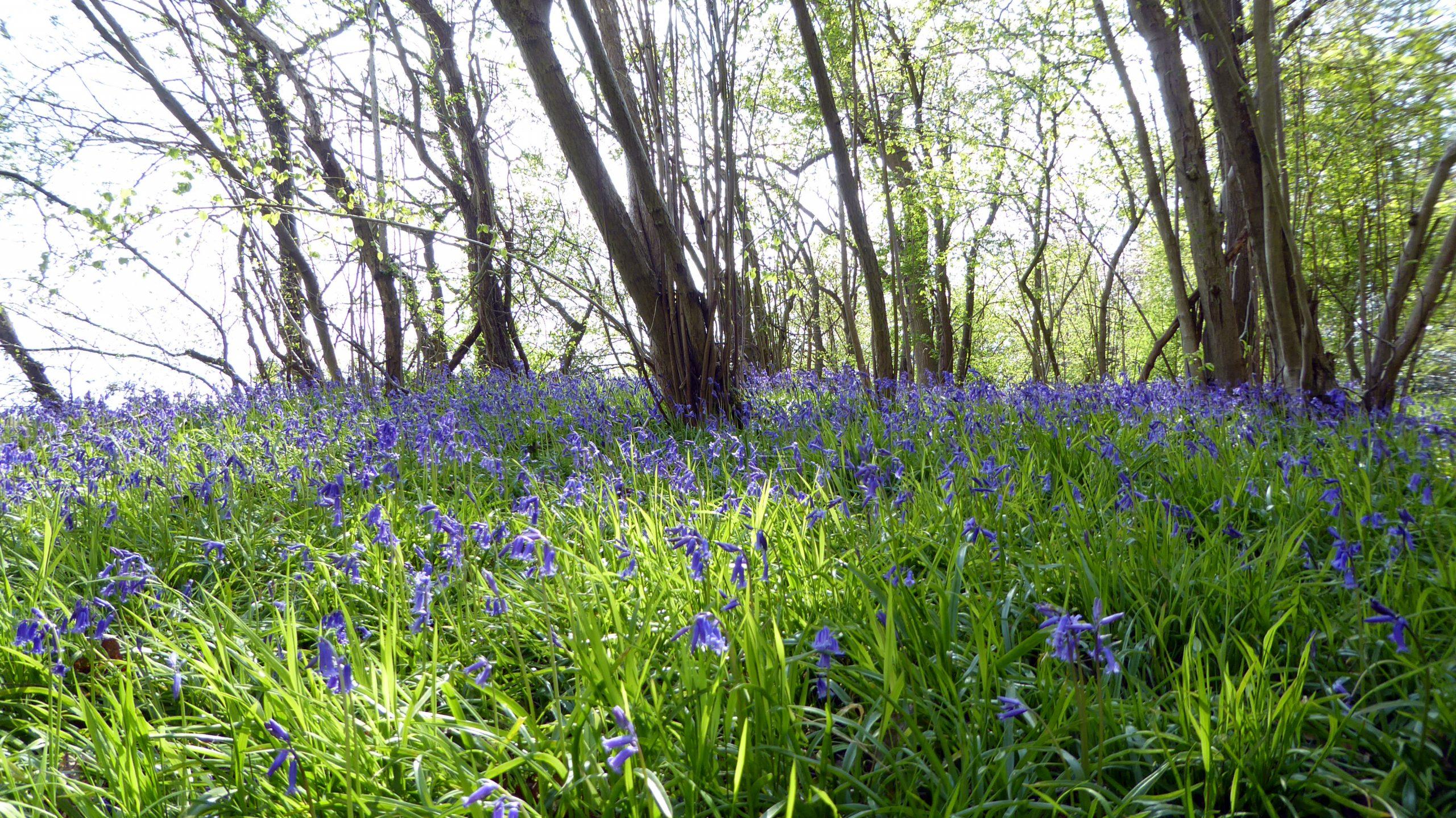 Bluebells in Maulden Wood